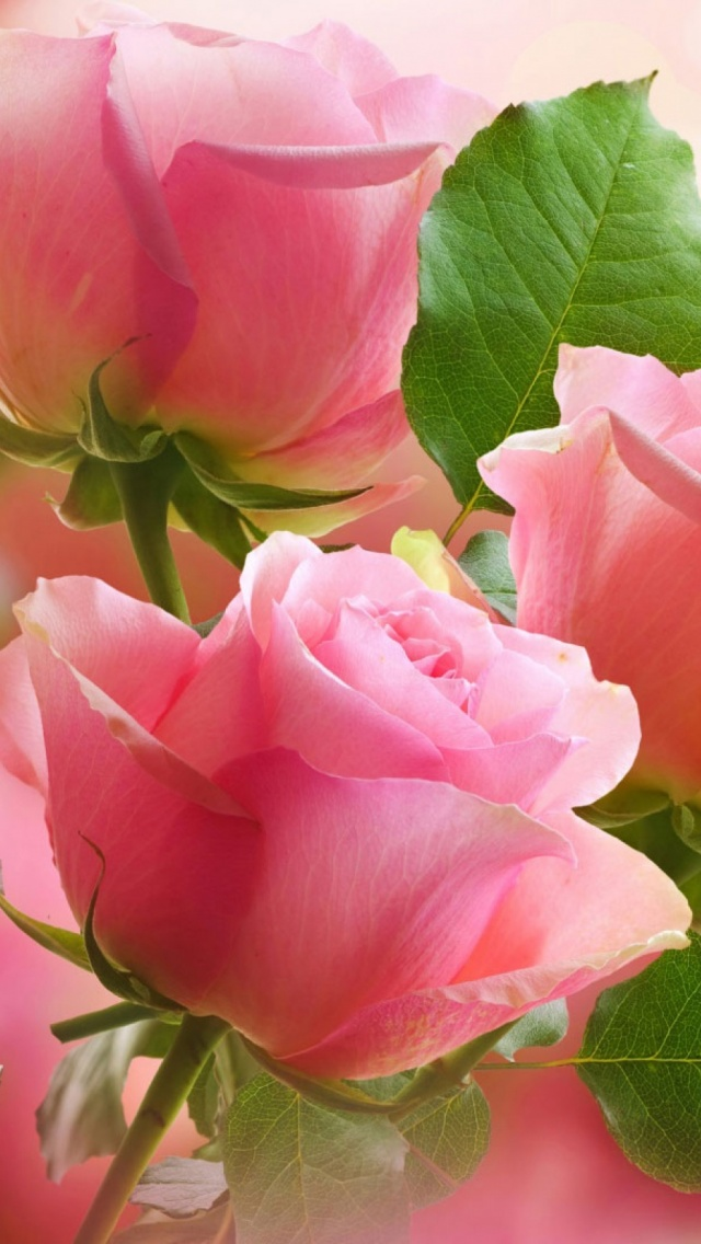 Beautiful pink roses hd good morning images. Rose Flowers DP For Whatsapp Free Download {Fresh}
