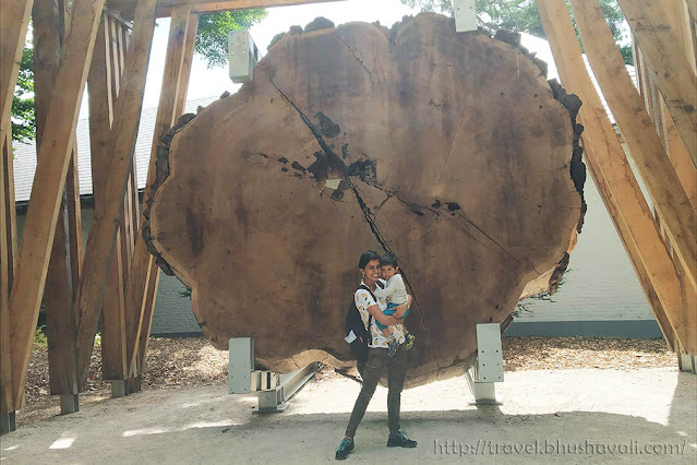 2000 year old Giant Sequoia tree annual rings