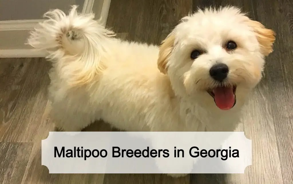 Best Maltipoo Breeders in Georgia