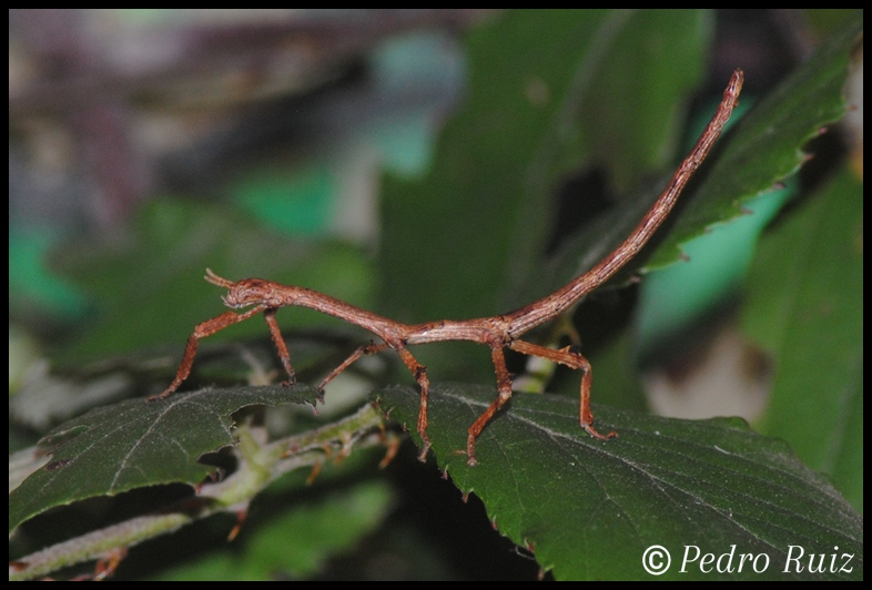 Ninfa macho L2 de Achrioptera manga, 3,5 cm de longitud