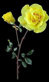 Wallpaper wa bunga mawar kuning