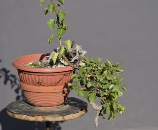 Prunus mahaleb, yamadori, dead wood, cascade