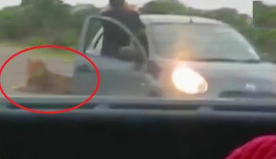 Turis keluar dari mobil ambil foto singa