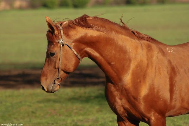 don+stallion+Bogatir+...jpg