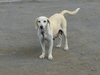 Les chiens errants de la Réunion