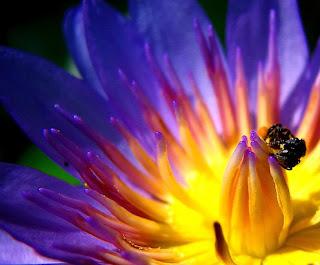 Gambar Bunga Teratai Terindah di Dunia 14