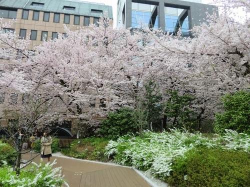 神田明神の桜09