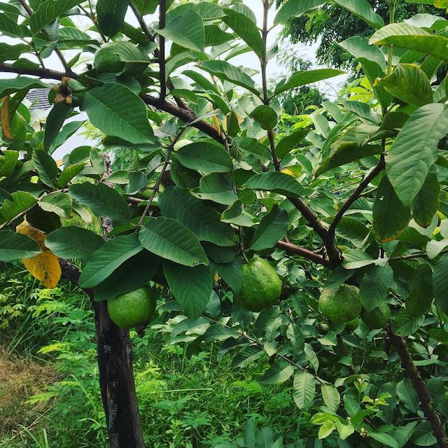 tanaman buah jambu biji atau jambu batu