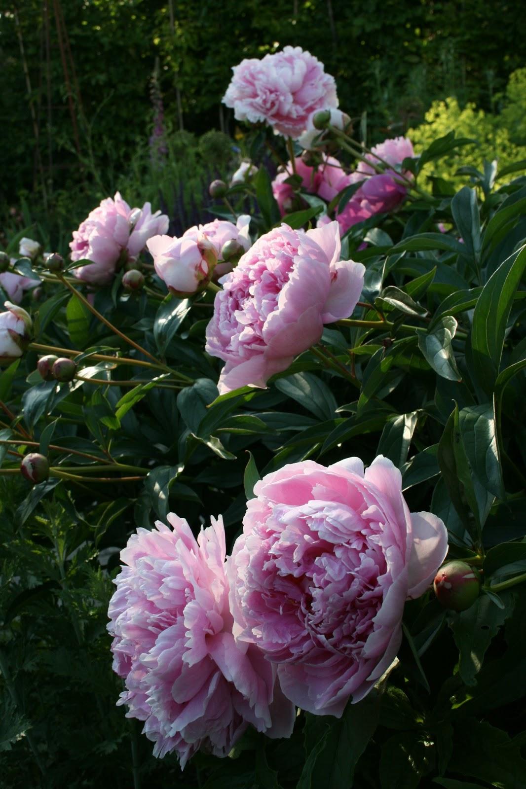 Luktpion Paeonia lactiflora 'Sarah Bernhardt