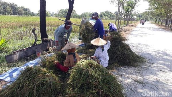 Petani di Bojonegoro Merugi Gara-gara Harga Gabah, Pemerintah Kok Impor Beras