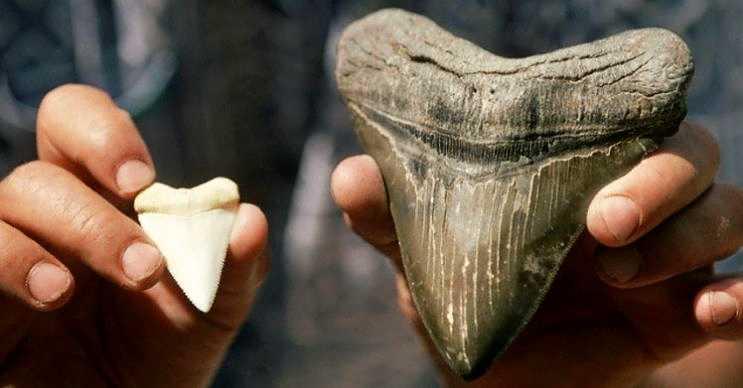 Yetişkin bir megalodon dişi, diğer köpek köpek balığı dişlerinden katbekat daha büyüktür.