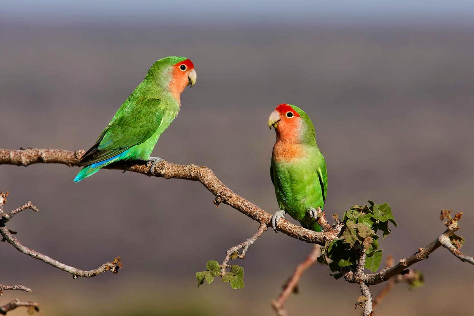 mengenal macam jenis lovebird dan gambarnya