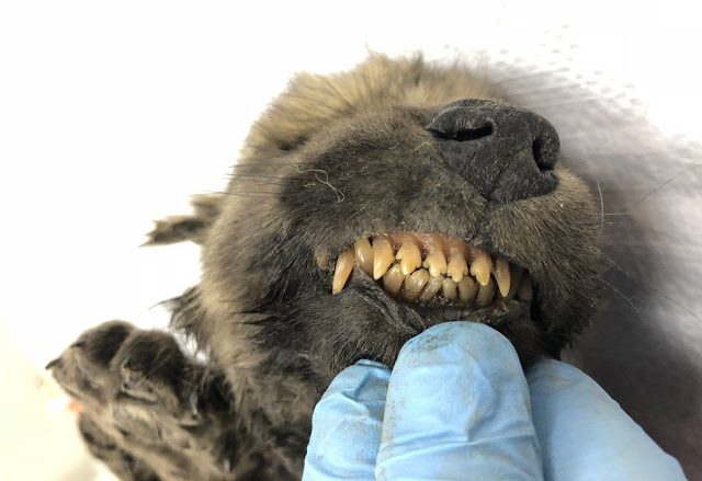 18,000-year-old frozen puppy found in Siberia could be 'oldest confirmed dog'