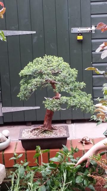 juniperus, juniper,