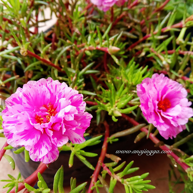 pokok ros jepun pink