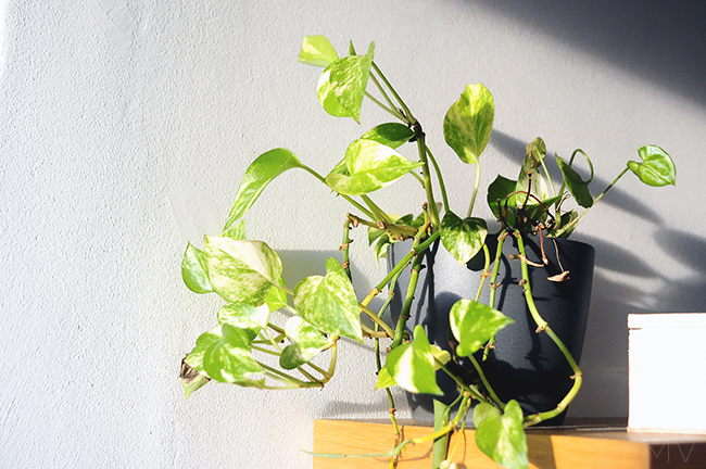 I CAN'T KEEP MY INDOOR PLANTS ALIVE? | MV blog