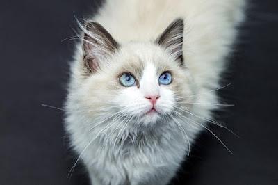 Gambar kucing angora