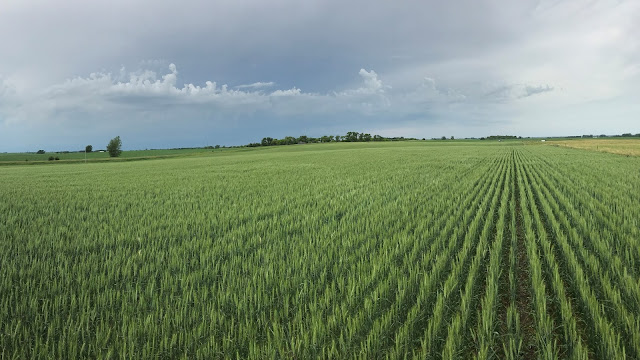 wheat nutrient management nitrogen fertilizer minnesota north dakota