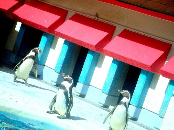 145 #ペンギン #水族館 #動物 #風景 #鳥
