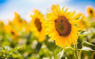 bees on sunflower widescreen hd wallpaper
