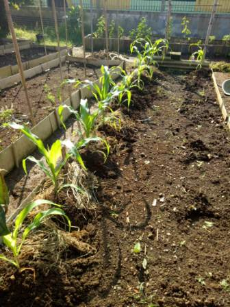 kebun sayur yodha anindita gambar 4