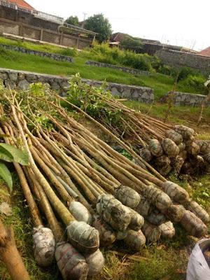 Harga Pohon Tabebuya Tinggi 2 Meter Surabaya