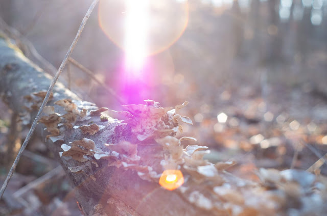 The sun flaring down orange and pink in rays and spheres over a log with some overgrown fungus.
