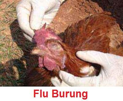 Penyebab, Gejala Dan Cara Mencegah Virus Penyakit Flu Burung