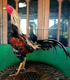 Ciri kepala ayam bangkok aduan menangan