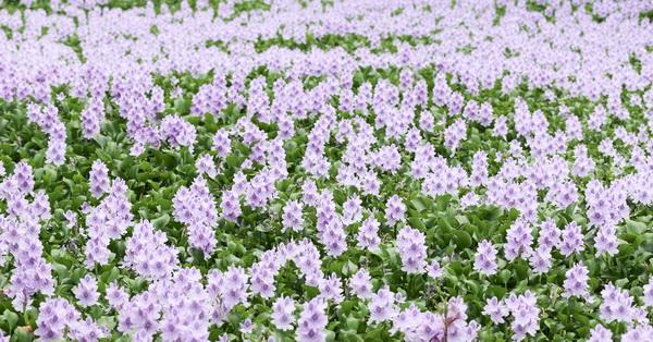 台中神岡|鳳眼藍(鳳眼布袋蓮)池塘|夢幻藍紫色花海|危害生態卻也治理水質
