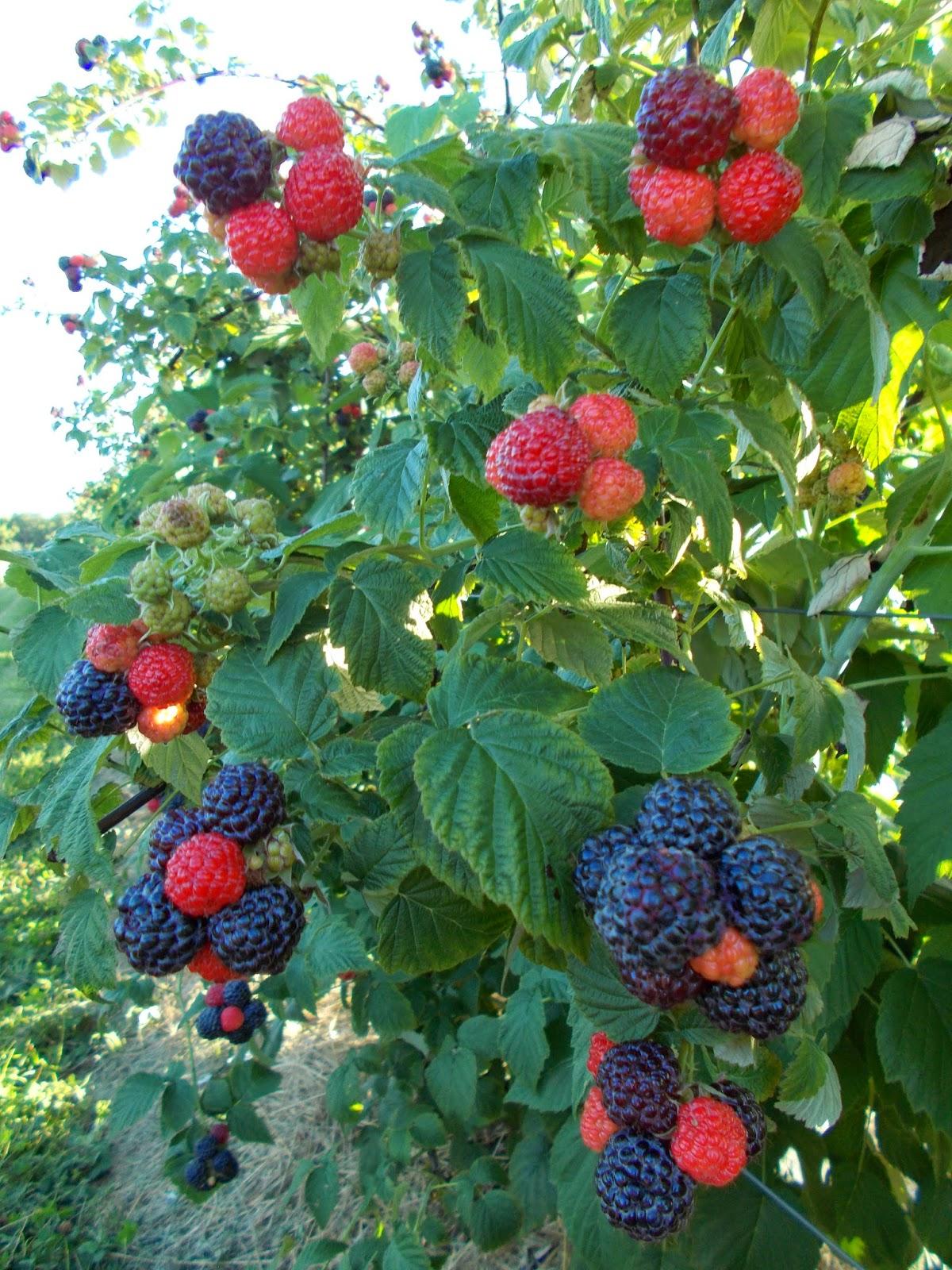 Blackberries in june essay help