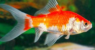 Cara Budidaya Ikan Komet