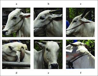 pertumbuhan tanduk pada ternak sapi