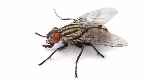 kara+sinekleri+öldürmek+günah+mı