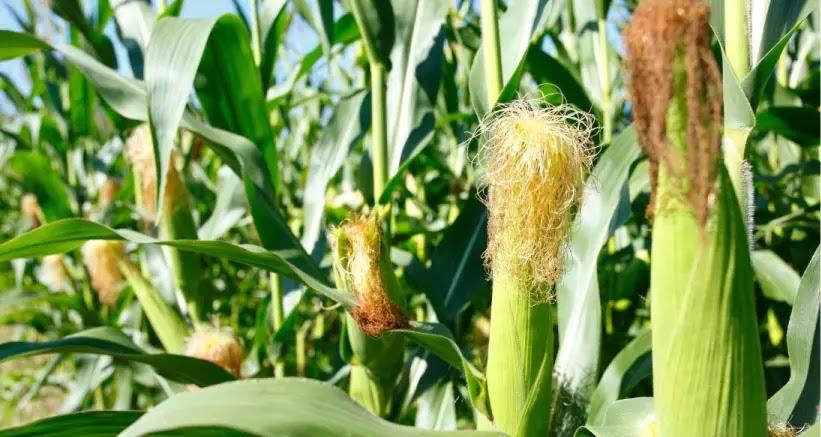 Descubre las increíbles propiedades medicinales y terapéuticas del maíz común.
