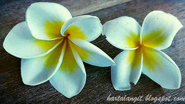 gambar bunga kamboja kelopak 6 dan kelopak 4