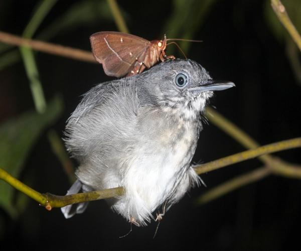https://www.bioorbis.org/2019/05/descubra-estranha-interacao-mariposa-brasileira-bebe-lagrimas-comportamento-animal.html