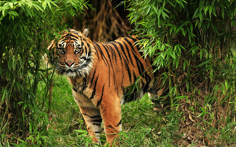 harimau gunung sibayak