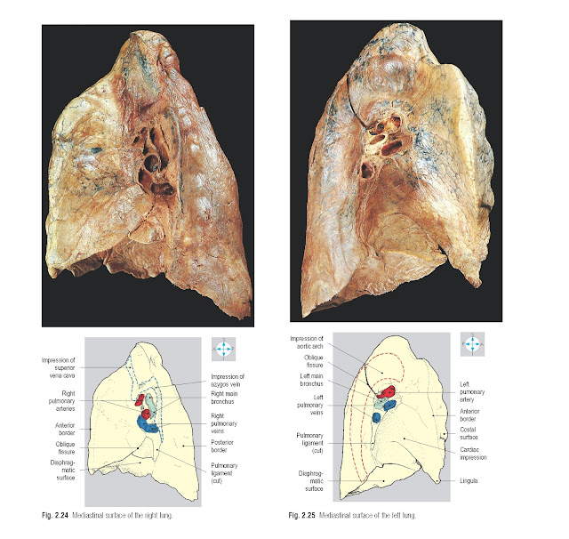 Mediastinal surface of the right lung. Mediastinal surface of the left lung.