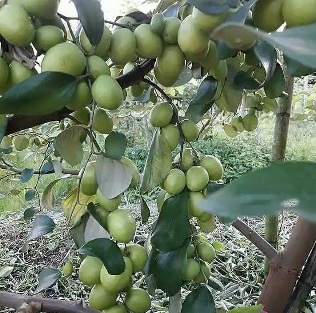 Jaminan Mutu! Bibit pohon buah apel putsa tabulampot apel putsa siap berbuah Kota Surabaya #bibit buah buahan