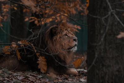 Lion 4k hd Wallpapers free Downloads