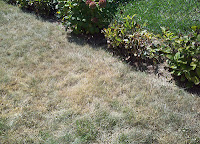 Dieing lawn compared to neighbor