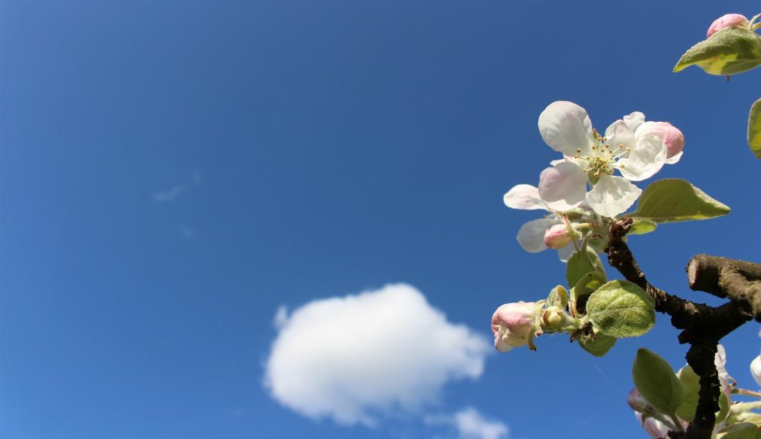 paluu kartalle, toukokuu, kevät, omenan kukka, Rouva Sana