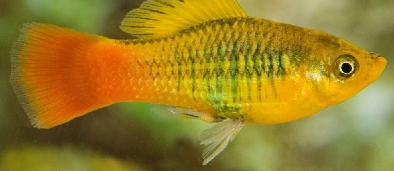 Budidaya Ikan Platy Variatus (Sunset Platy, Platy Variatus)