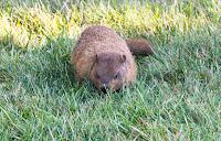 Groundhog in Ferida's garden