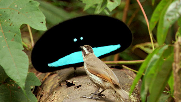 Real Animals Superb Bird of Paradise