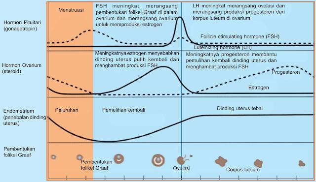 Taahapan Siklus Menstruasi (Fase Pra ovulasi, Ovulasi, Pasca Ovulasi, Menstruasi)