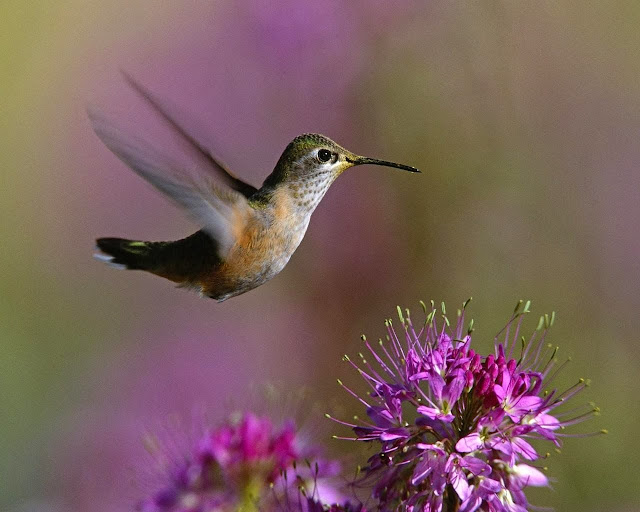 Hummingbird flying as a free spirit