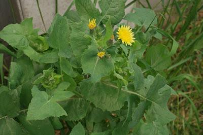 Serralha (Sonchus oleraceus)