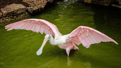 Photo of wading Roseate Spoonbill